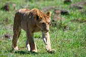 picture of leo  - Young lioness  - JPG