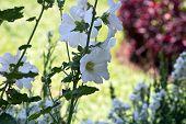 stock photo of hollyhock  - A beautiful blooming hollyhock Alcea rosea in the park - JPG