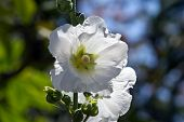 foto of hollyhock  - A beautiful blooming hollyhock Alcea rosea in the park - JPG