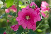 picture of hollyhock  - A beautiful blooming hollyhock Alcea rosea in the park - JPG