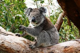 image of eucalyptus trees  - Koala eating Eucalyptus leaves in a tree - JPG