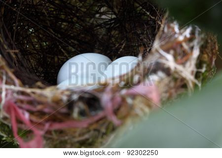 Zosterops japonicas chick