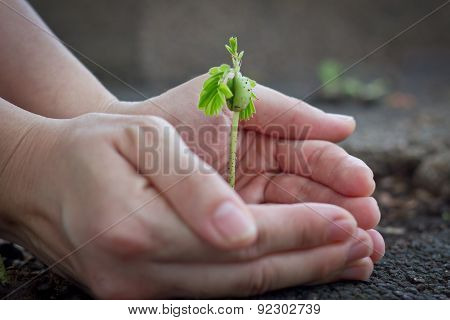 Tamarind Sprout In Human Hands