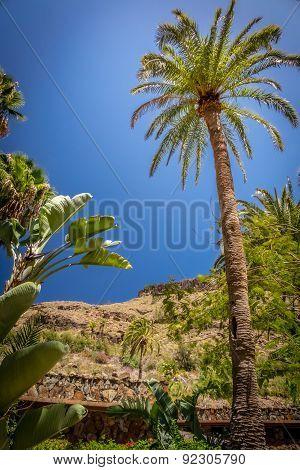 Tall palmtree