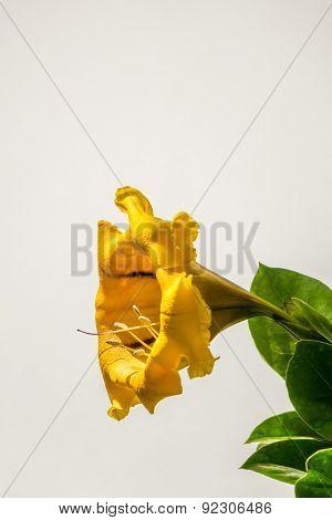 Yellow Gold Vine Solandra Maxima flower