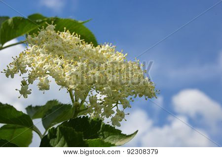 Blossoming elder branch against the sky.