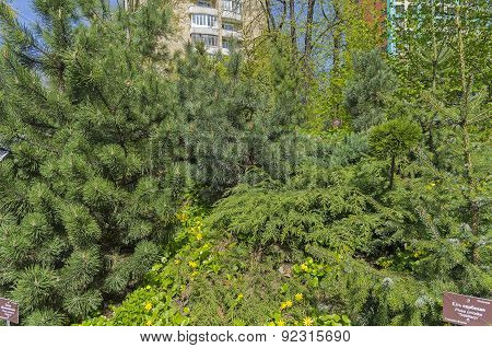A Variety Of Conifers