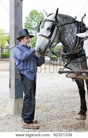 SUGARCREEK, OH  - MAY 20, 2015:  An unidentified Amish man preparing his horse to pull a wagon.  (Wagon is not in image.)