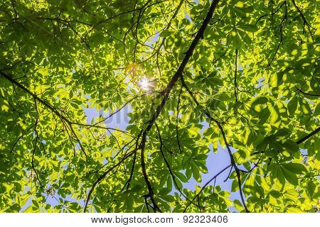 The Sun's Rays Through The Branches Of Chestnut