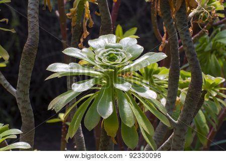 Tree Aeonium (aeonium Arboreum)