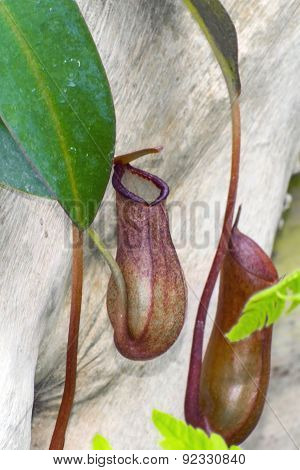 Pitcher Plant (nepenthes Rebecca)