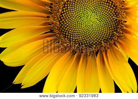 Sunflower backlit on a black background