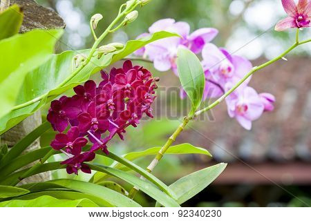 Pink Orchids Phalaenopsis Growing In Wild Tropics