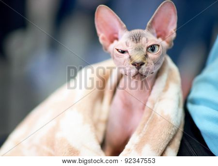 Funny Sphynx Cat Squints One Eye