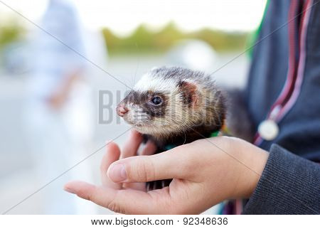 Ferret In The Hand Of The Man