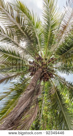 Fresh coconut tree