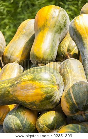 Sonca Cucurbita Pumpkin Pumpkins From Autumn Harvest
