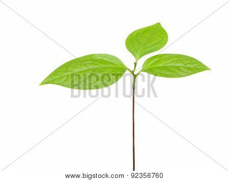 Sapling With The Leaves On A White Background
