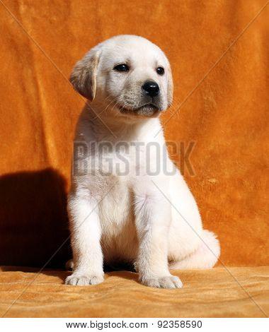 A Yellow Labrador Puppy On Orange Background