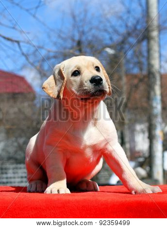 Nice Labrador Puppy On The Red Background