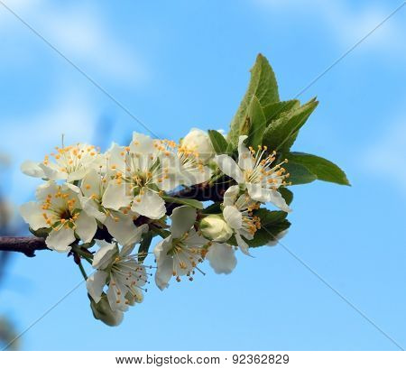 White Flowers Blossoming On A Plum  Tree
