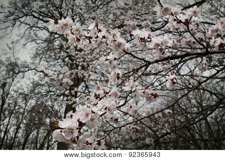 branch of blossoming apricot