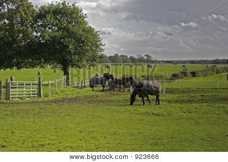 Horses On Farmland, Wirral, England