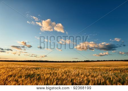wheat field and sunset sky landscape