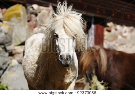 white Shetland-pony portrait, mane blowing in the wind.