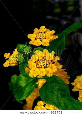 Yellow Lantana 2