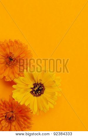 Several fresh medicinal calendula or marigold flowers arranged on orange background with copy space