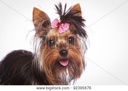 closeup of a cute yorkshire terrier puppy dog with pink bow in its hair