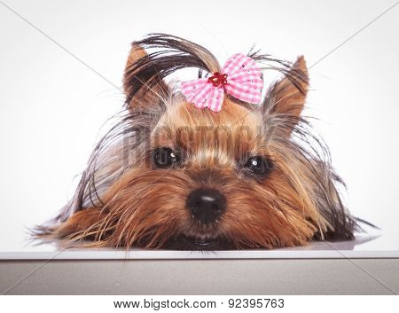 sleepy little yorkshire terrier puppy dog is lying down on studio background