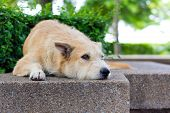 foto of forlorn  - Brown dog looking away and lying in park - JPG