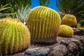 stock photo of cactus  - Large round cactuses photographed in the cactus garden in Palmitos Park in Gran Canaria - JPG