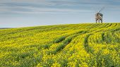 pic of rape  - Chesterton Mill Pictured In rape Seed Field - JPG