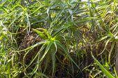 picture of monocots  - Dense Aloe vera plants in a botanical garden - JPG