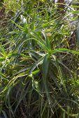 stock photo of monocots  - Dense Aloe vera plants in a botanical garden - JPG