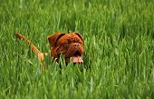 pic of dogue de bordeaux  - Dogue de Bordeaux puppy playing in green field - JPG