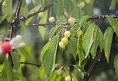 pic of pesticide  - Device of spraying pesticide sprinkle liquid to unripe berries cherries from red nozzle - JPG