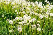 image of dandelion seed  - Group of dandelion seed heads unfocused in a green grass meadow  - JPG