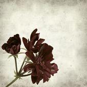 pic of geranium  - textured old paper background with dark red geranium - JPG
