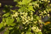 pic of ovary  - ovary currant flowers - JPG