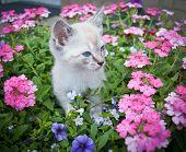 pic of siamese  - Super cute Siamese kitten standing in a basket of flowers - JPG
