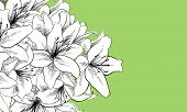 foto of lillies  - floral illustration of lilly flowers - JPG
