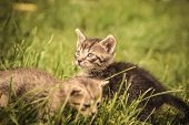 stock photo of baby cat  - two baby cats playing in the grass - JPG