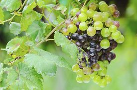 picture of cluster  - ripening green and red grape clusters on the vine - JPG
