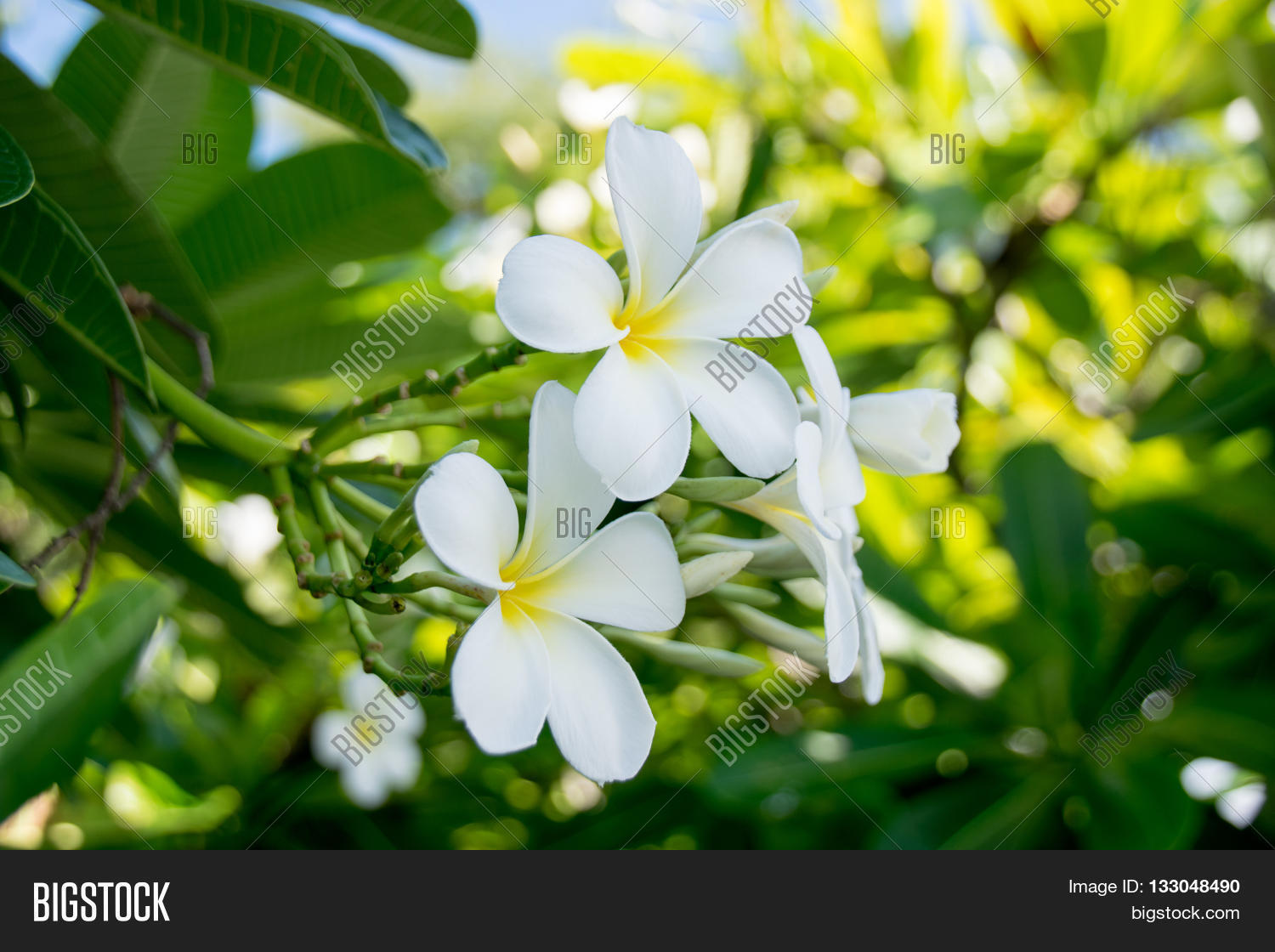 Evergreen frangipani graveyard image photo bigstock evergreen frangipani graveyard flower or pagoda tree or temple tree or west indian jasmine izmirmasajfo