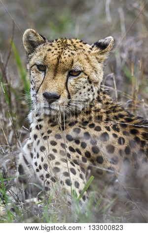 Specie Acinonyx jubatus family of felidae, cheetah standing in the bush in Kruger park