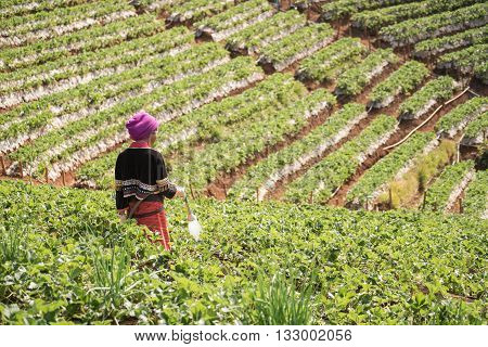 agriculture watering strawberry in field at thailand